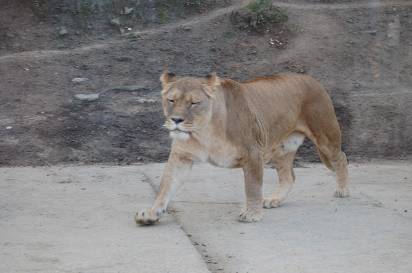 фото львицы