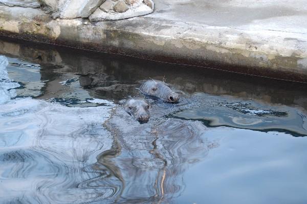 фото двух моржей