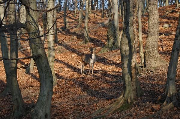 фото оленьего вожака